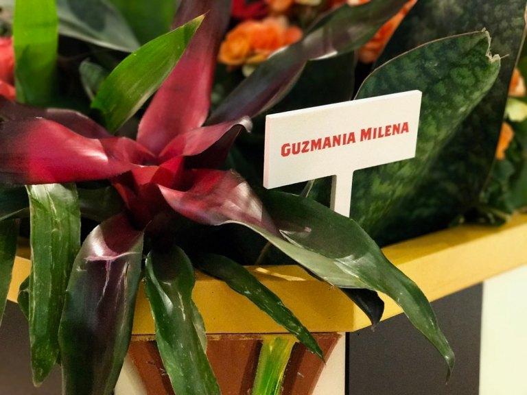 Guzmania Milena at the Macy's Flower Show