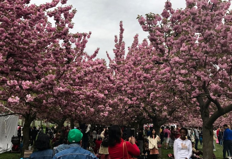 Cherry blossoms in bloom at the Brooklyn Botanical Gardens